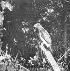 The Naturalist was the first to observe their arrival.